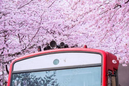 Wall mural Cherry blossom in spring. Jinhae Gunhangje Festival is the large