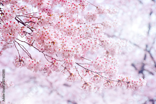 Wall mural Cherry Blossom in spring with Soft focus, Sakura season in korea