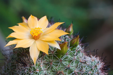 Spoed Foto op Canvas Cactus Cactus flowers yellow beautiful. Rarely bloom once.