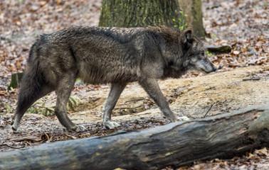 Dark Gray Wolf walking along.