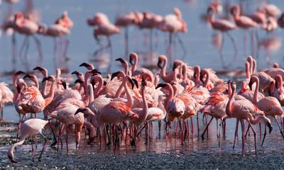 Big group flamingos on the lake. Kenya. Africa. Nakuru National Park. Lake Bogoria National Reserve. An excellent illustration.