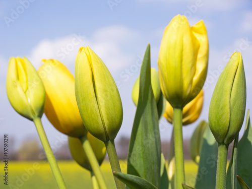 gelbe tulpen freilandtulpen aus holland fr hlingsblumen imagens e fotos de stock royalty. Black Bedroom Furniture Sets. Home Design Ideas