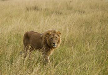 Fotobehang Afrika Lion in Masai mara national Park Kenia