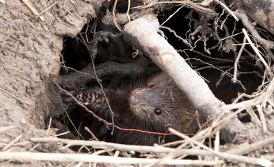 European mink(Mustela lutreola) in a native habitat