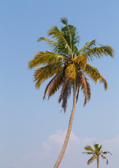 Palm Trees in India