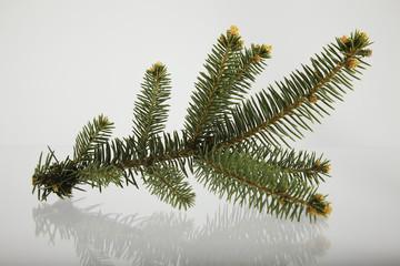 Fir tree branch.