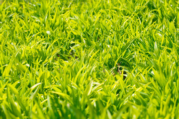 Background of a green grass. Green grass texture