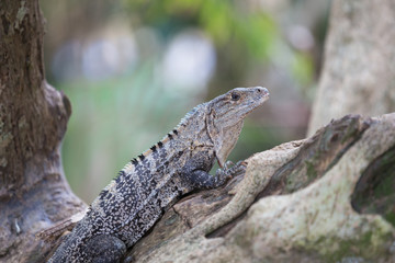 A view of the grey Iguana