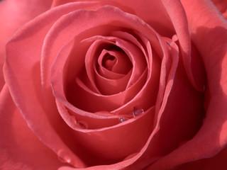 Rosenblüte  mit Tautropfen. Close-up Aufnahme der Blütenblätter