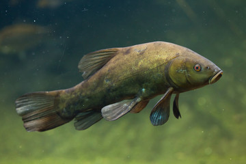 Tench (Tinca tinca), also known as the doctor fish.