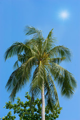 coconut tree on sunlight and blue sky