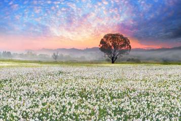 Wall Mural - Daffodils at sunrise