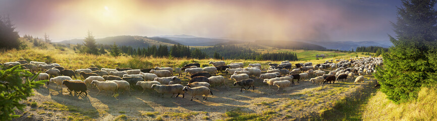Tuinposter Schapen Sheep graze in the Carpathians
