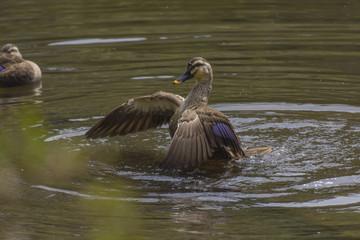 水浴びをしている軽鴨