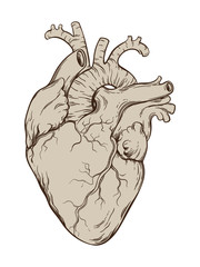 Hand drawn line art  anatomically correct human heart. Isolated over white background. Vintage tattoo design vector illustration.