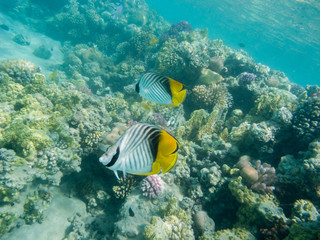 zwei indische Doppelsattel-Falterfische schwimmen in einem Korallenriff