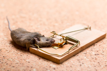 Mouse in the mouse trap