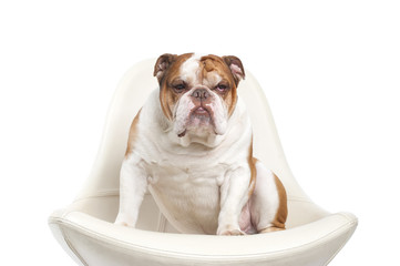 Dog breed English bulldog..