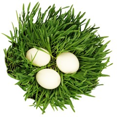 Eggs in growing grass isolated at white background
