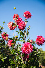 Beautiful dahlias in the garden. Sunny day.