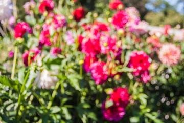 Beautiful dahlias in the garden. Sunny day.