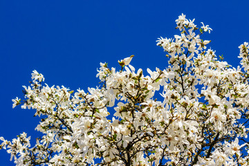magnolia flowers on a sky background