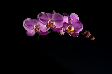 Pink orchid on the black background