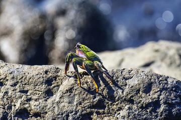 crab on a stone - Canary island Tenerife