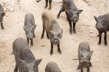 Many wild boar
