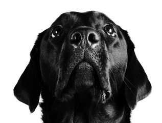 Portrait of a black Labrador Retriever looking up (in black and white)