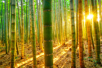 Autocollant pour porte Bambou Bamboo forest with sunny in morning