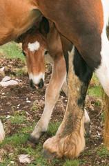 Puledro si nasconde dietro le zampe della madre
