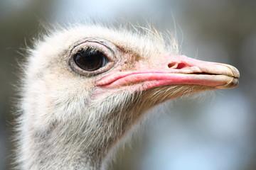 Ostrich head closeup.