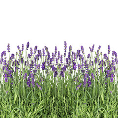 Lavender flowers isolated on white fresh plants