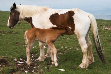 Puledro prende il latte dalla madre