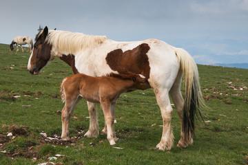Puledro beve il latte dalla  madre