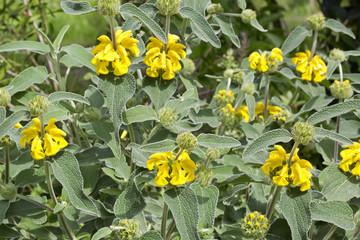 Phlomis fruticosa (Jerusalem sage) is a species of flowering plant of the Lamiaceae family