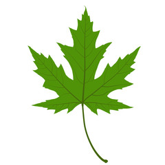 Green Maple Leaf. Illustration.