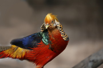 golden pheasant in the nature of the country
