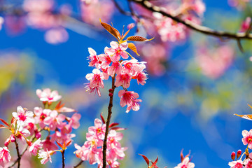 Beautiful cherry blossom or sakura with nice blue sky, selective focus