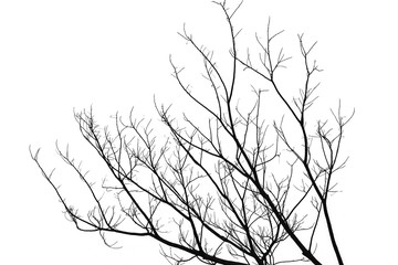Branch of dead tree, isolated on a white background;