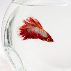 Siamese fighting fish in glass jar, Beautiful fish from Thailand