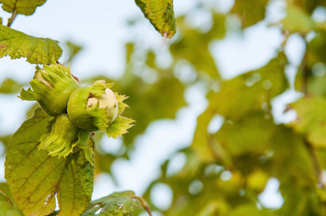 branch with hazelnuts