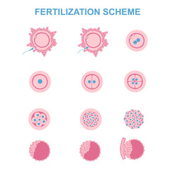 schematic image of fertilization in mammals
