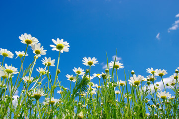 Fototapete - white daisies on blue sky