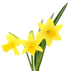 Three yellow narcissus.
