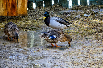 Domestic ducks walk on the paddock. Two ducks and a drake beaks wash in the spring pool. Spring sunny day.