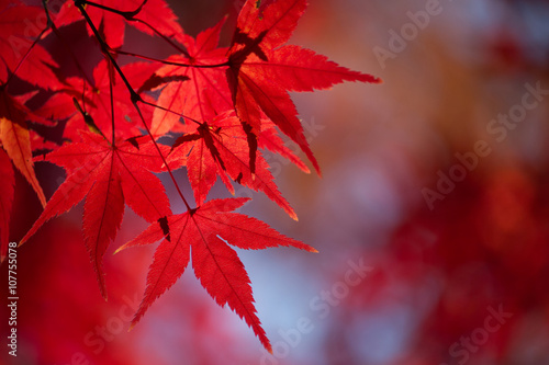 japanischer zierahorn acer palmatum in roter. Black Bedroom Furniture Sets. Home Design Ideas