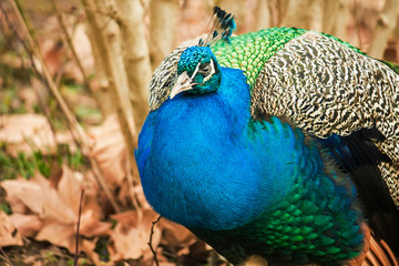 Portrait image of a male peacock.