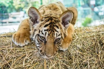 Small tiger cub